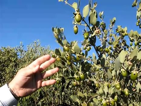 فوائد نبات الجوجوبا أو الذهب الأخضر - Jojoba tree 3