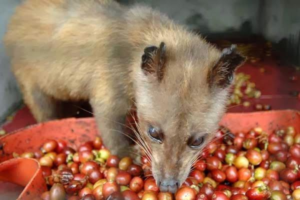 بالفيديو : أغلي قهوة في العالم تستخرج بقسوه من مخلفات الحيوانات ! 3