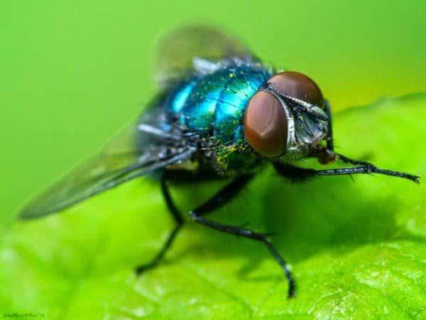 الذباب الأزرق : ما قصة هذا الذباب و لماذا يضرب به المثل ؟ 1