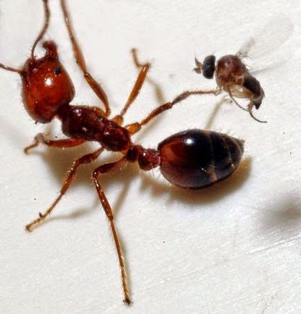 النمل الناري آكل اللحوم الذي تقتله ذبابة بضربة واحدة ! 3