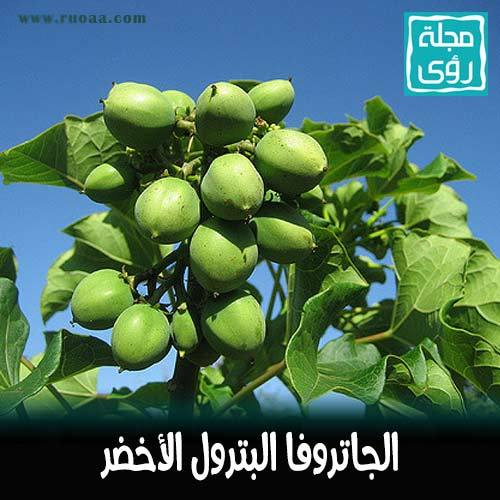 شجرة الجاتروفا : زيت نبات الجاتروفا وقود حيوي بديل للنفط 5